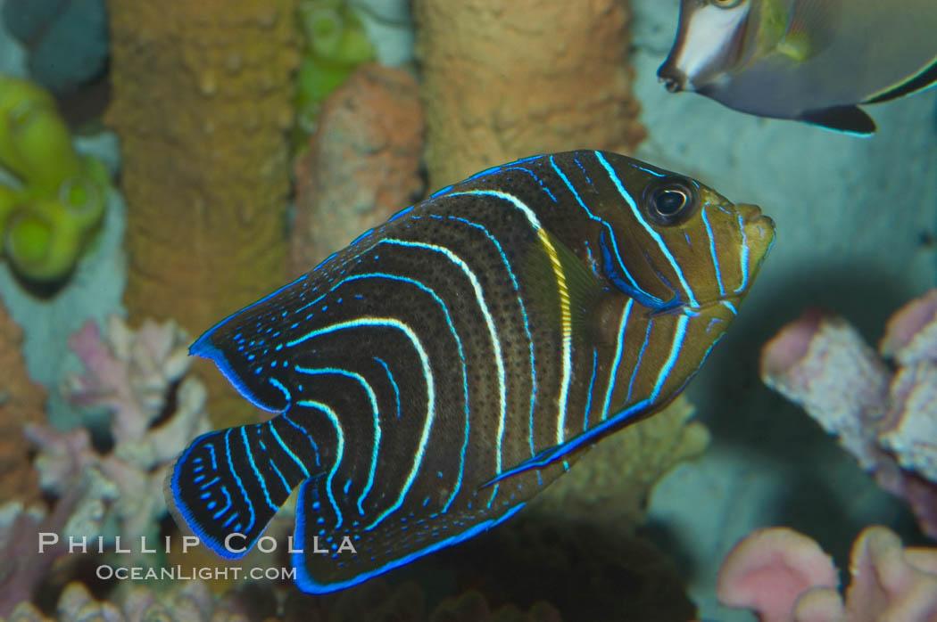 Semicircle angelfish, juvenile form., Pomacanthus semicirculatus, natural history stock photograph, photo id 07925