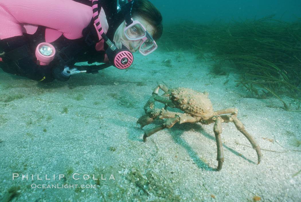 Diver and sheep crab. Catalina Island, California, USA, Loxorhynchus grandis, natural history stock photograph, photo id 05708
