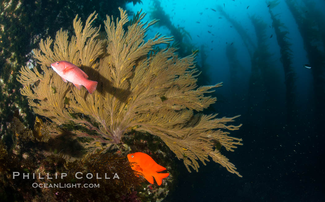 California golden gorgonian, Garibaldi and Sheephead wrasse fishes on rocky reef, below kelp forest, underwater. The golden gorgonian is a filter-feeding temperate colonial species that lives on the rocky bottom at depths between 50 to 200 feet deep. Each individual polyp is a distinct animal, together they secrete calcium that forms the structure of the colony. Gorgonians are oriented at right angles to prevailing water currents to capture plankton drifting by. San Clemente Island, USA, Semicossyphus pulcher, Hypsypops rubicundus, Muricea californica, natural history stock photograph, photo id 30922