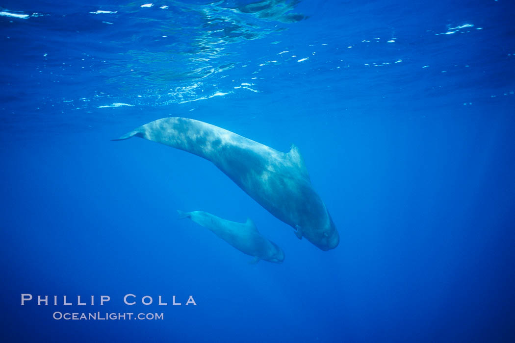 Short-finned pilot whale, adult and calf. Sao Miguel Island, Azores, Portugal, Globicephala macrorhynchus, natural history stock photograph, photo id 02083