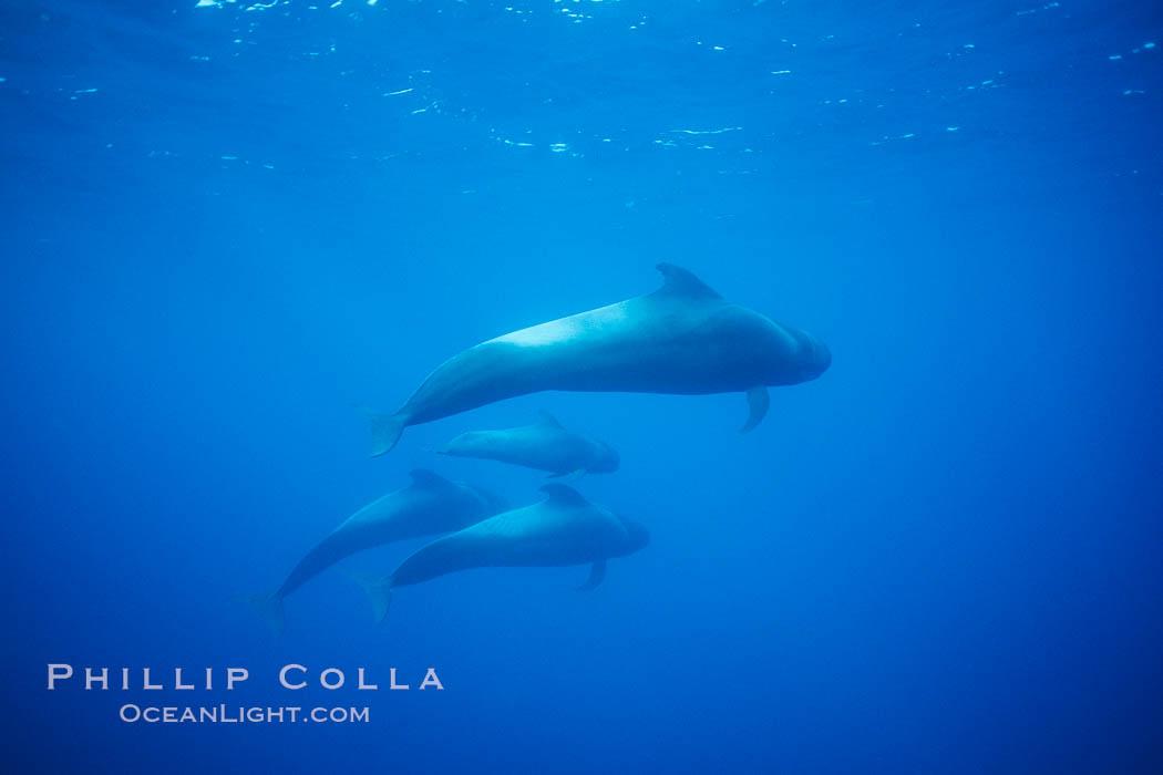 Short finned pilot whale
