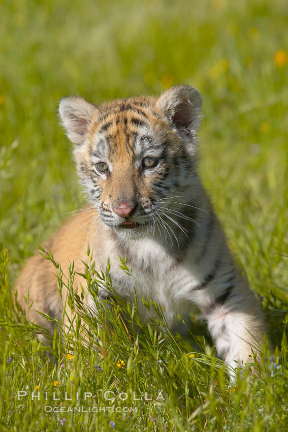 Siberian tiger cub, male, 10 weeks old., Panthera tigris altaica, natural history stock photograph, photo id 15997
