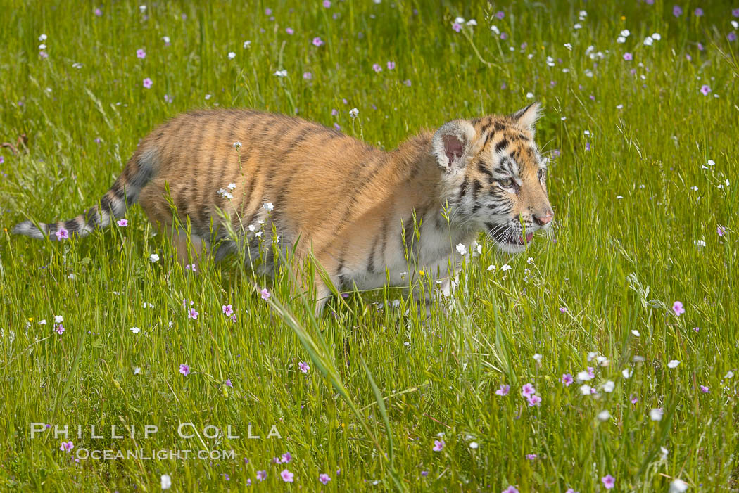Siberian tiger cub, male, 10 weeks old., Panthera tigris altaica, natural history stock photograph, photo id 16005