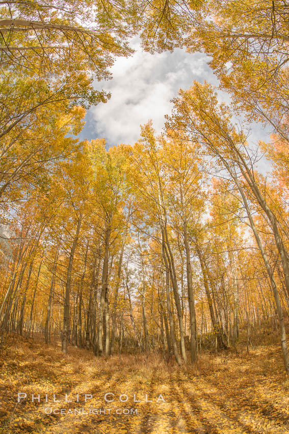 Aspen Trees and Sierra Nevada Fall Colors, Bishop Creek Canyon. Bishop Creek Canyon, Sierra Nevada Mountains, California, USA, Populus tremuloides, natural history stock photograph, photo id 36445
