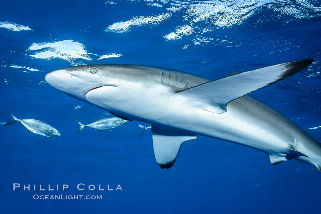Silky Shark at San Benedicto Islands, Revillagigedos, Mexico. Socorro Island (Islas Revillagigedos), Baja California, Carcharhinus falciformis, natural history stock photograph, photo id 33322