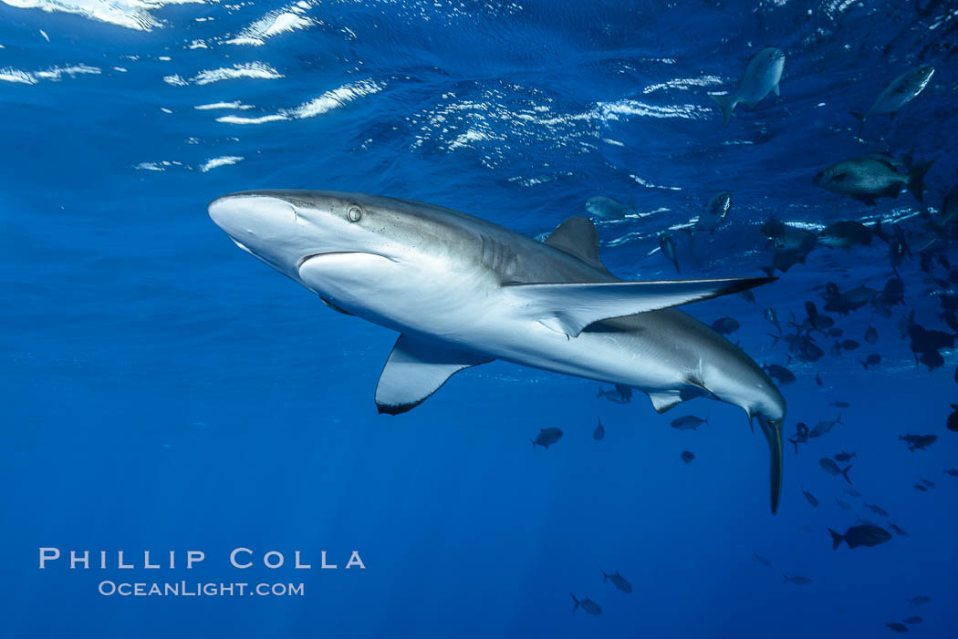 Silky Shark at San Benedicto Islands, Revillagigedos, Mexico. Socorro Island (Islas Revillagigedos), Baja California, Mexico, Carcharhinus falciformis, natural history stock photograph, photo id 33311