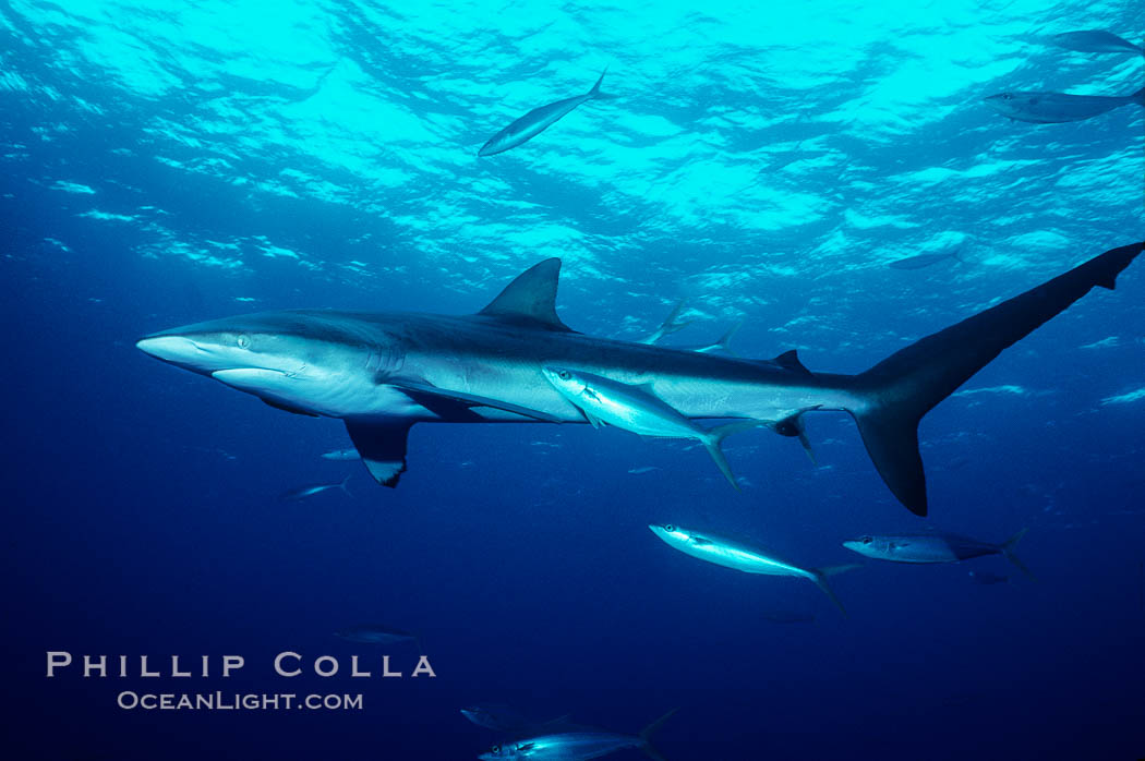 Silky shark. Cocos Island, Costa Rica, Carcharhinus falciformis, natural history stock photograph, photo id 01989
