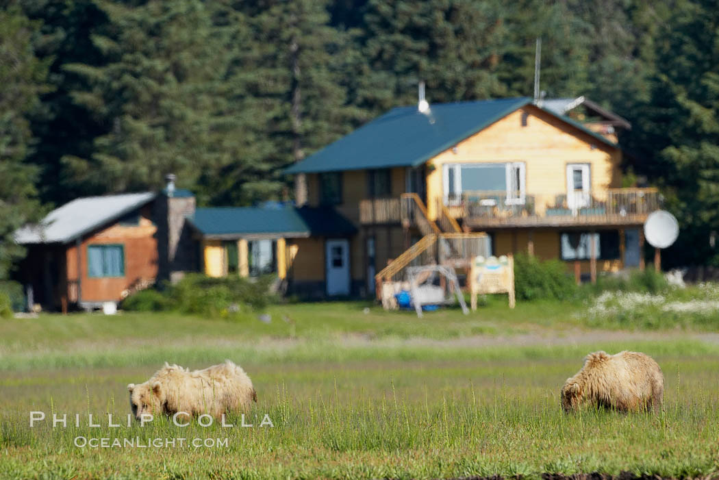 Brown bears graze among sedge grass meadows at Silver Salmon Creek Lodge, Lake Clark National Park, Alaska
