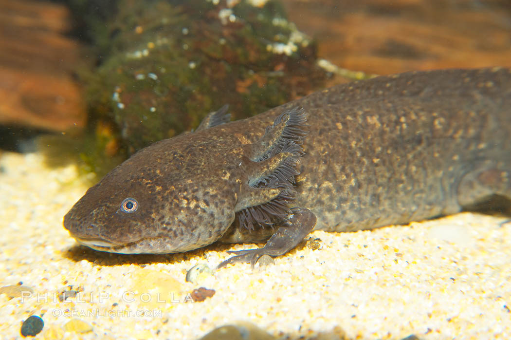 Image 13981, Lesser siren, a large amphibian with external gills, can also obtain oxygen by gulping air into its lungs, an adaptation that allows it to survive periods of drought.  It is native to the southeastern United States., Siren intermedia, Phillip Colla, all rights reserved worldwide. Keywords: amphibian, animal, lesser siren, newt salamander, siren intermedia, underwater.