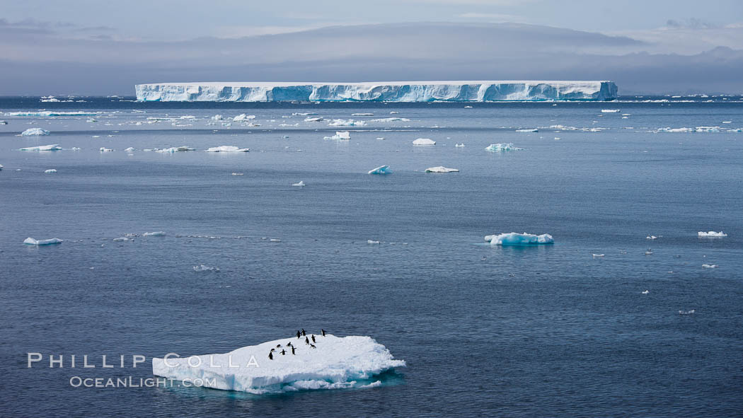 Small ice floe with penguins, with a large tabular iceberg in the distance, Antarctic Sound. Antarctic Peninsula, Antarctica, natural history stock photograph, photo id 24807