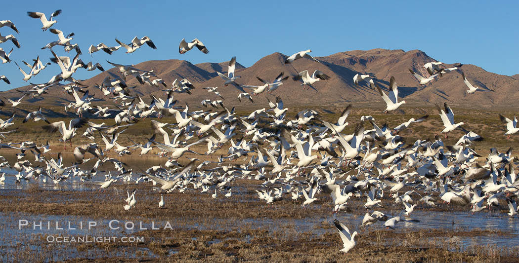 Snow geese blast off.  After resting and preening on water, snow geese are started by a coyote, hawk or just wind and take off en masse by the thousands.  As many as 50,000 snow geese are found at Bosque del Apache NWR at times, stopping at the refuge during their winter migration along the Rio Grande River. Bosque del Apache National Wildlife Refuge, Socorro, New Mexico, USA, Chen caerulescens, natural history stock photograph, photo id 21861