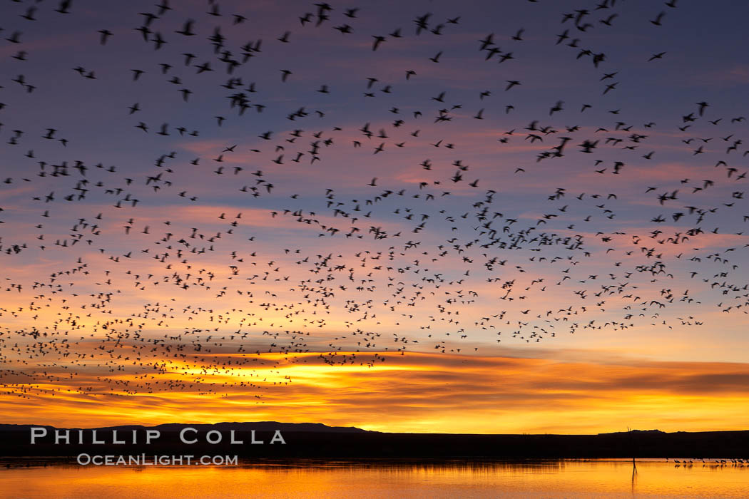Snow geese at dawn.  Snow geese often blast off just before or after dawn, leaving the ponds where they rest for the night to forage elsewhere during the day., Chen caerulescens,  Copyright Phillip Colla, image #21806, all rights reserved worldwide.