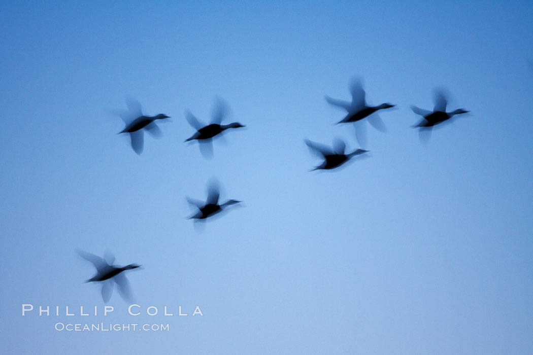 Snow geese, flying in syncrony through color twilight skies, wings blurred due to long time exposure. Bosque del Apache National Wildlife Refuge, Socorro, New Mexico, USA, Chen caerulescens, natural history stock photograph, photo id 21826