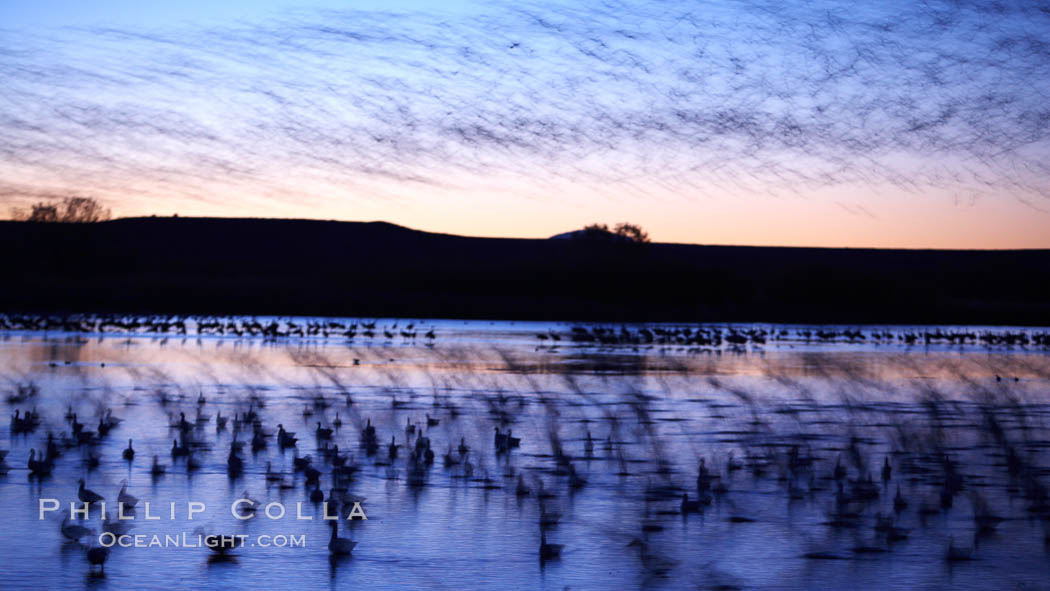 "Snow geese at dawn.  Snow geese often ""blast off"" just before or after dawn, leaving the ponds where they rest for the night to forage elsewhere during the day. Bosque del Apache National Wildlife Refuge, Socorro, New Mexico, USA, Chen caerulescens, natural history stock photograph, photo id 21816"