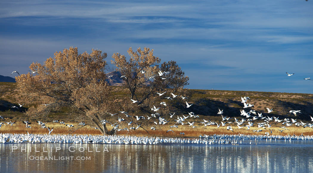"Snow geese and one of the ""crane pools"" in the northern part of Bosque del Apache NWR. Bosque del Apache National Wildlife Refuge, Socorro, New Mexico, USA, Chen caerulescens, natural history stock photograph, photo id 21864"