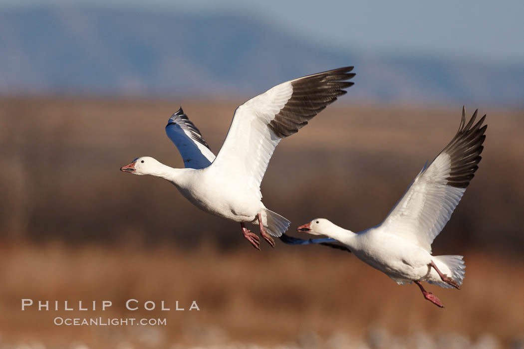 Image 21832, Snow geese in flight. Bosque del Apache National Wildlife Refuge, Socorro, New Mexico, USA, Chen caerulescens, Phillip Colla, all rights reserved worldwide. Keywords: anatidae, animal, animalia, anseriformes, aves, bird, bosque del apache, bosque del apache national wildlife refuge, bosque del apache nwr, caerulescens, chen, chen caerulescens, chordata, creature, geese, goose, national wildlife refuge, national wildlife refuges, nature, new mexico, snow geese, snow goose, socorro, usa, vertebrata, vertebrate, wildlife.