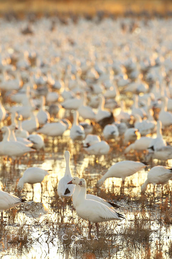 Snow geese resting, on a still pond in early morning light, in groups of several thousands, Chen caerulescens, Bosque del Apache National Wildlife Refuge, Socorro, New Mexico