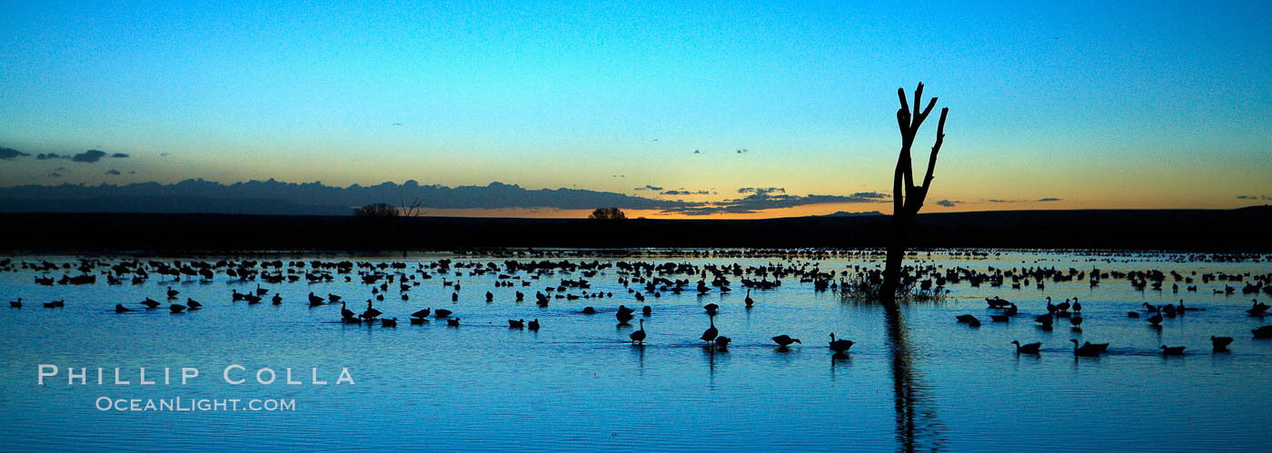 Snow geese, resting on the calm water of the main empoundment at Bosque del Apache NWR in predawn light. Bosque del Apache National Wildlife Refuge, Socorro, New Mexico, USA, Chen caerulescens, natural history stock photograph, photo id 21925