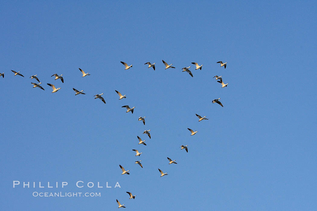 Skeins of snow geese fly in classic chevron formation. Bosque del Apache National Wildlife Refuge, Socorro, New Mexico, USA, Chen caerulescens, natural history stock photograph, photo id 22059