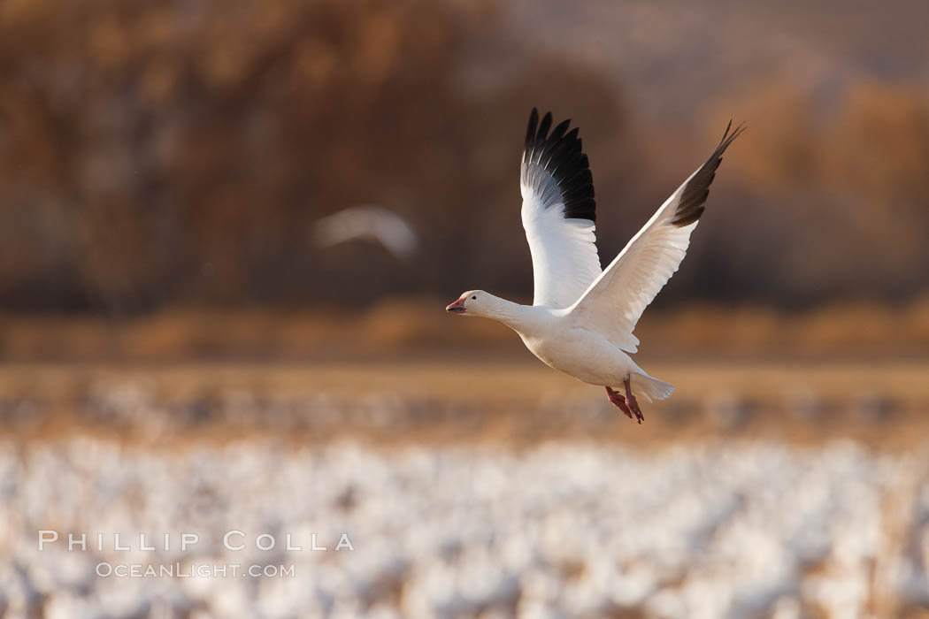 Snow goose in flight. Bosque Del Apache, Socorro, New Mexico, USA, Chen caerulescens, natural history stock photograph, photo id 26256