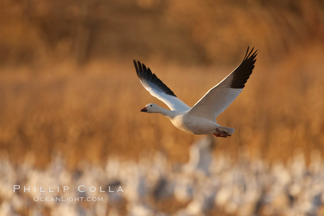 Snow goose in flight. Bosque Del Apache, Socorro, New Mexico, USA, Chen caerulescens, natural history stock photograph, photo id 26267