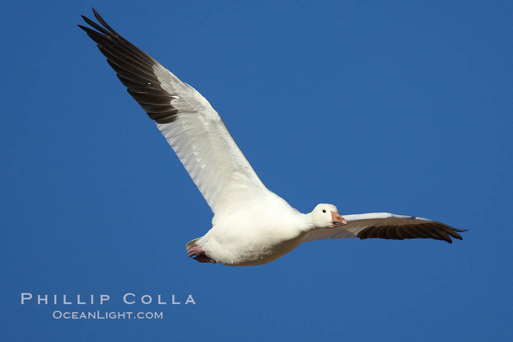 Snow goose in flight. Bosque del Apache National Wildlife Refuge, Socorro, New Mexico, USA, Chen caerulescens, natural history stock photograph, photo id 21813