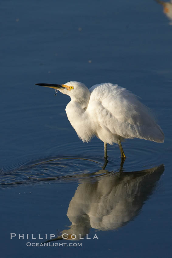Snowy egret. Upper Newport Bay Ecological Reserve, Newport Beach, California, USA, Egretta thula, natural history stock photograph, photo id 15669