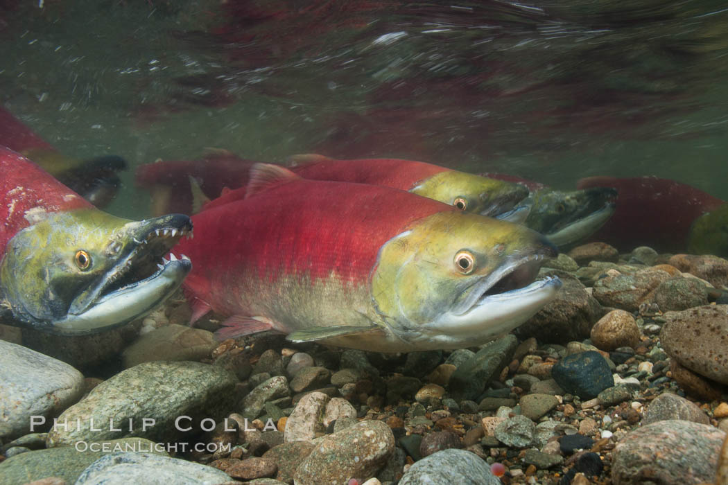 Sockeye salmon, swimming upstream in the shallow waters of the Adams River.  When they reach the place where they hatched from eggs four years earlier, they will spawn and die. Adams River, Roderick Haig-Brown Provincial Park, British Columbia, Canada, Oncorhynchus nerka, natural history stock photograph, photo id 26152