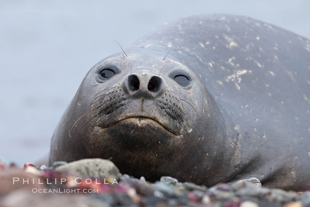 Southern elephant seal. Livingston Island, Antarctic Peninsula, Antarctica, Mirounga leonina, natural history stock photograph, photo id 25914