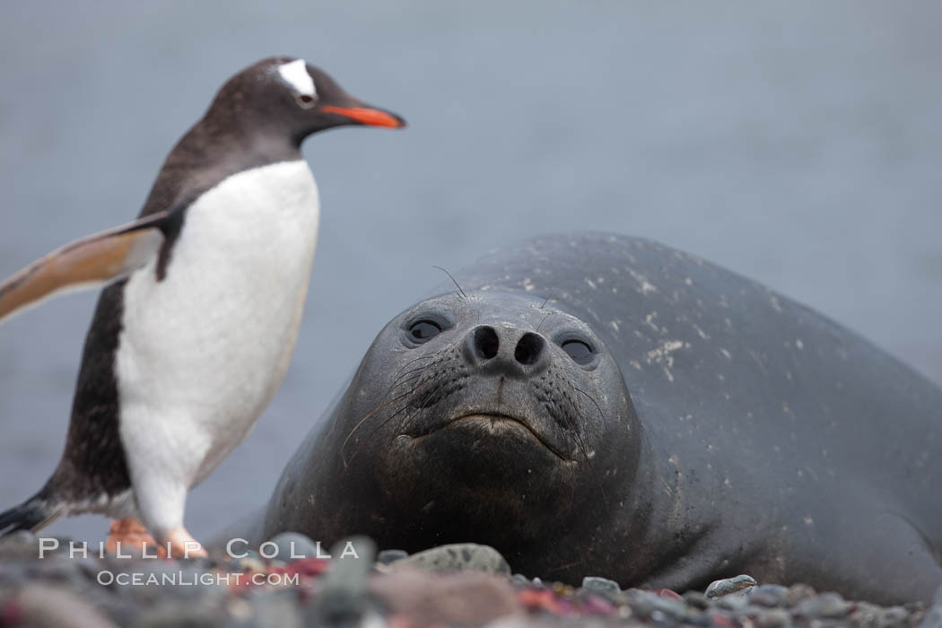 Southern elephant seal watches gentoo penguin, Mirounga leonina, Pygoscelis papua, Livingston Island