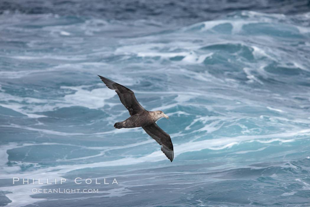"Southern giant petrel in flight, soaring over the open ocean.  This large seabird has a wingspan up to 80"" from wing-tip to wing-tip. Falkland Islands, United Kingdom, Macronectes giganteus, natural history stock photograph, photo id 23696"