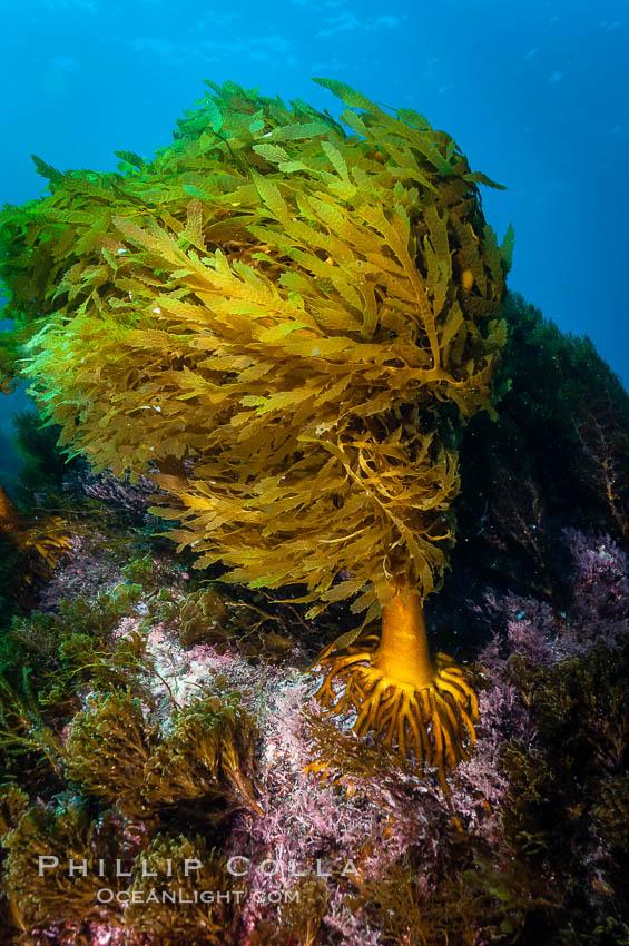 Southern sea palm, Eisenia arborea, Guadalupe Island (Isla Guadalupe)