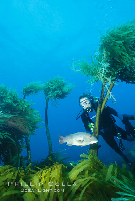 Diver and sheephead amidst giant palm kelp. Guadalupe Island (Isla Guadalupe), Baja California, Mexico, Eisenia arborea, natural history stock photograph, photo id 00612