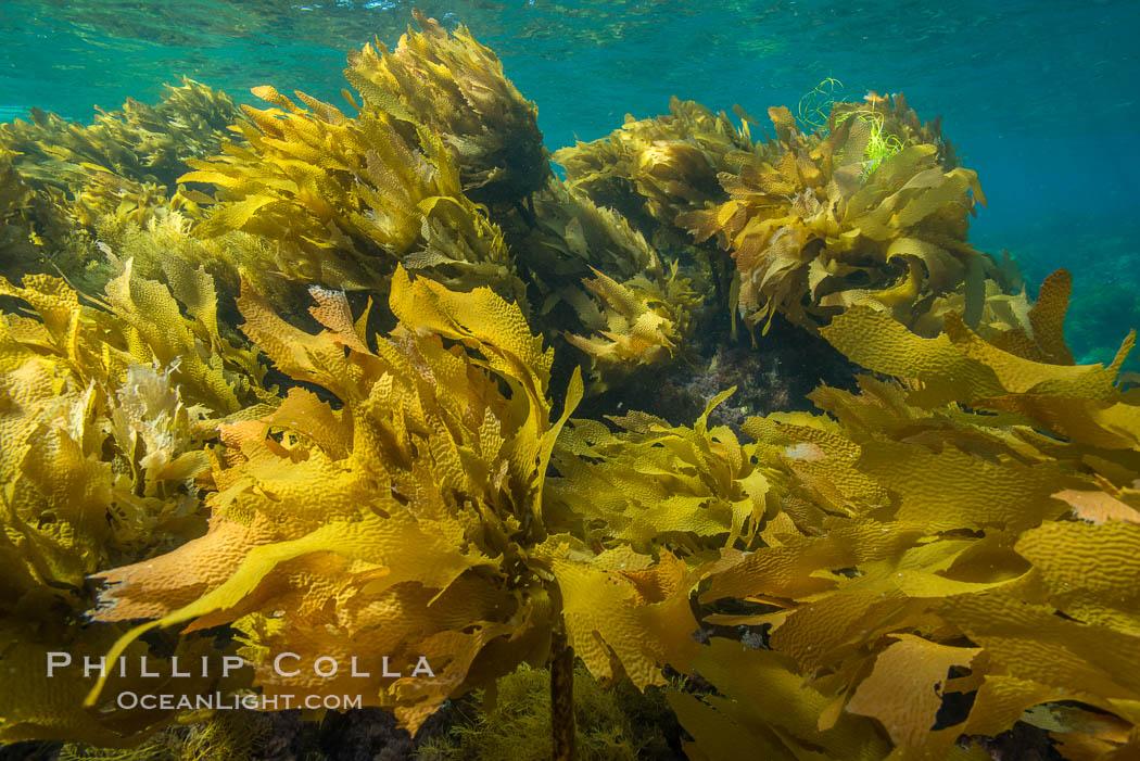 Southern sea palm, palm kelp, underwater, San Clemente Island, Eisenia arborea