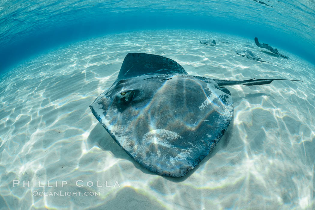 Southern Stingray, Stingray City, Grand Cayman Island. Cayman Islands, Dasyatis americana, natural history stock photograph, photo id 32097