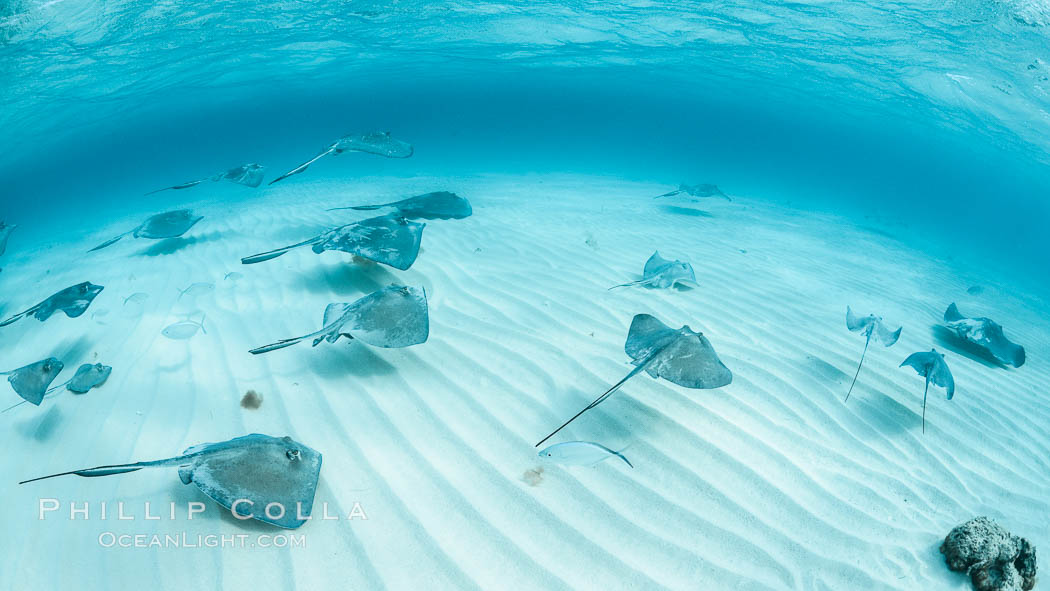 Southern Stingrays, Stingray City, Grand Cayman Island. Cayman Islands, Dasyatis americana, natural history stock photograph, photo id 32169