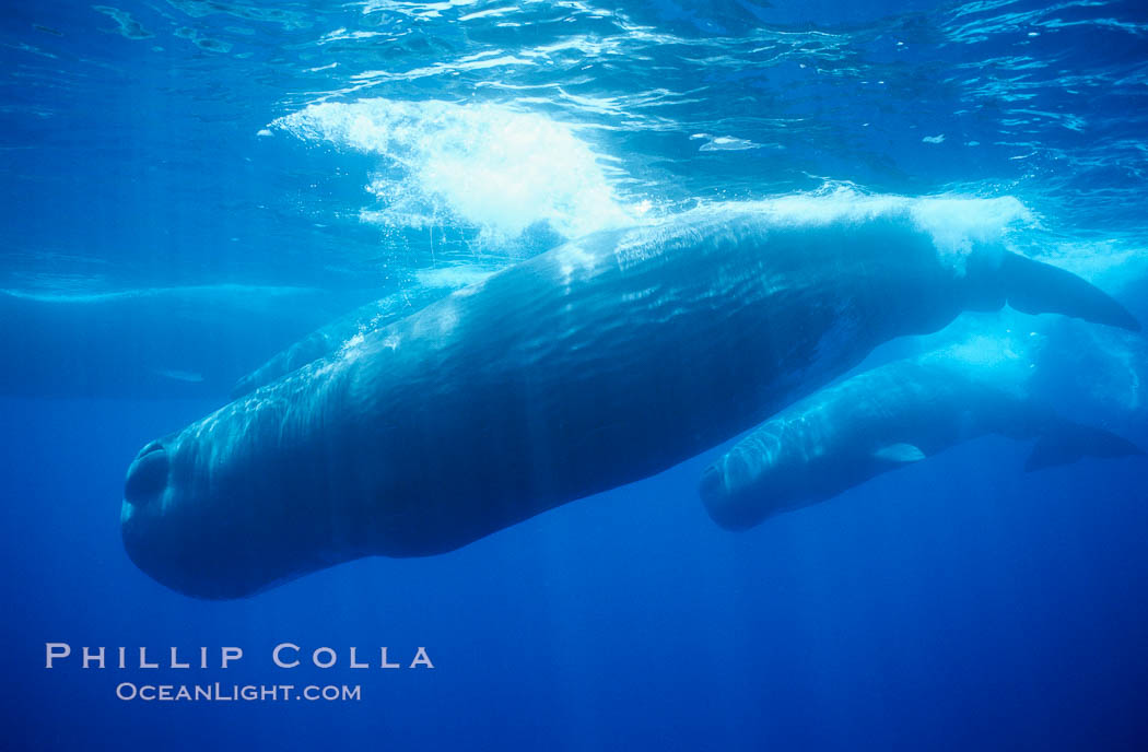 Mature male (bull) sperm whale. Sao Miguel Island, Azores, Portugal, Physeter macrocephalus, natural history stock photograph, photo id 02081