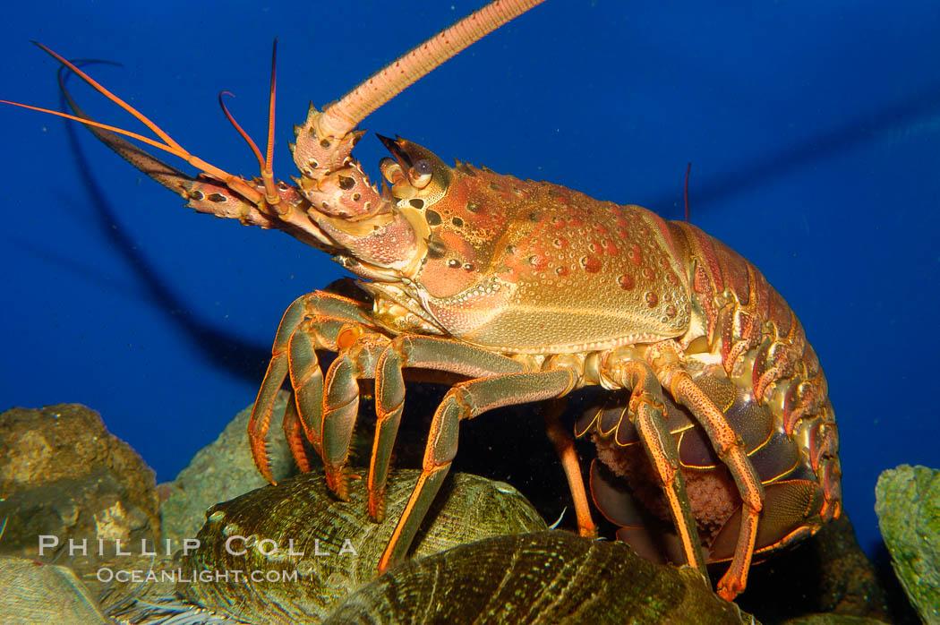 Lobster Underwater Spiny Lobster P...