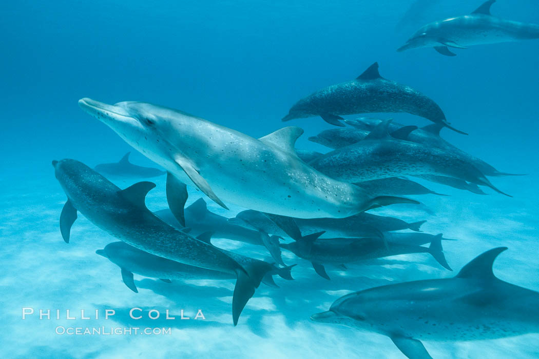 Atlantic spotted dolphin. Bahamas, Stenella frontalis, natural history stock photograph, photo id 00001