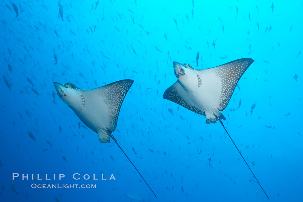 Spotted eagle rays. Wolf Island, Galapagos Islands, Ecuador, Aetobatus narinari, natural history stock photograph, photo id 16338