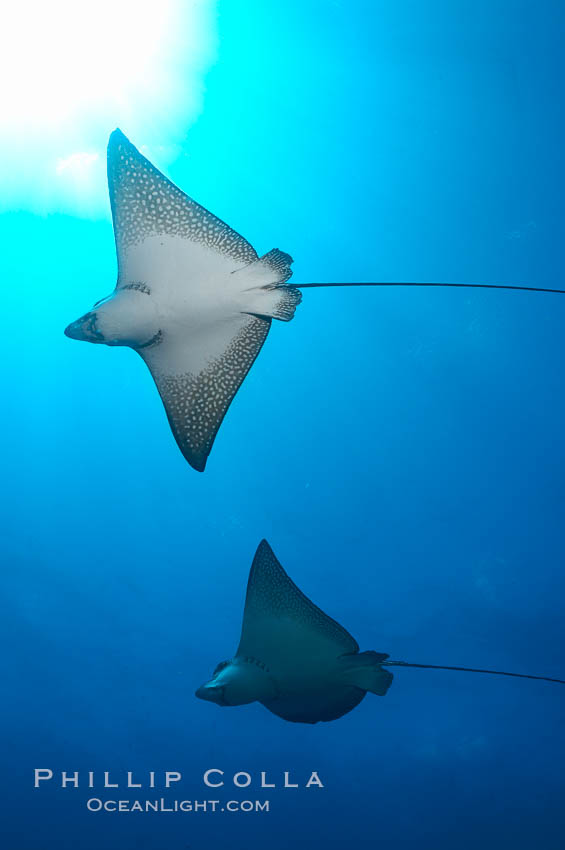 Spotted eagle rays. Wolf Island, Galapagos Islands, Ecuador, Aetobatus narinari, natural history stock photograph, photo id 16344
