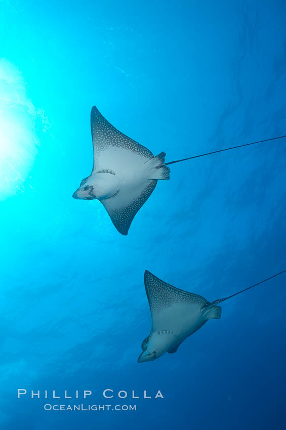 Spotted eagle rays. Wolf Island, Galapagos Islands, Ecuador, Aetobatus narinari, natural history stock photograph, photo id 16339