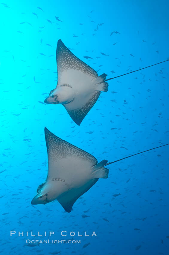 Spotted eagle rays. Wolf Island, Galapagos Islands, Ecuador, Aetobatus narinari, natural history stock photograph, photo id 16343