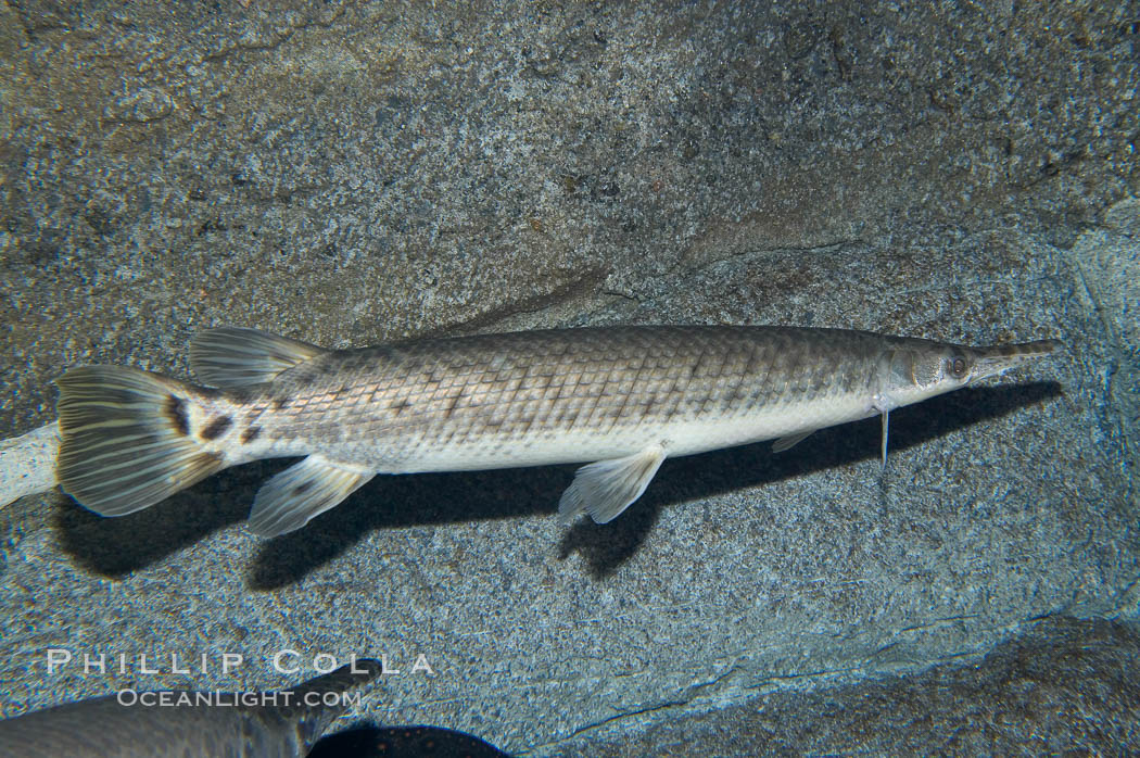 how to catch spotted gar