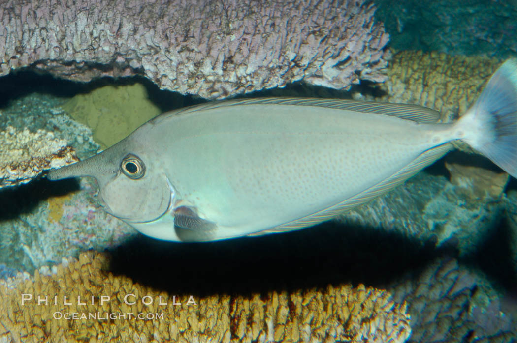 Spotted unicornfish., Naso brevirostris, natural history stock photograph, photo id 08909