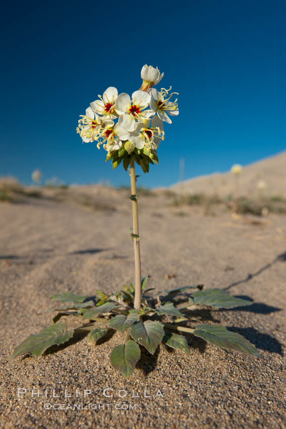 Spring wildflower blooms on the Eureka sand dunes. Eureka Dunes, Death Valley National Park, California, USA, natural history stock photograph, photo id 25245