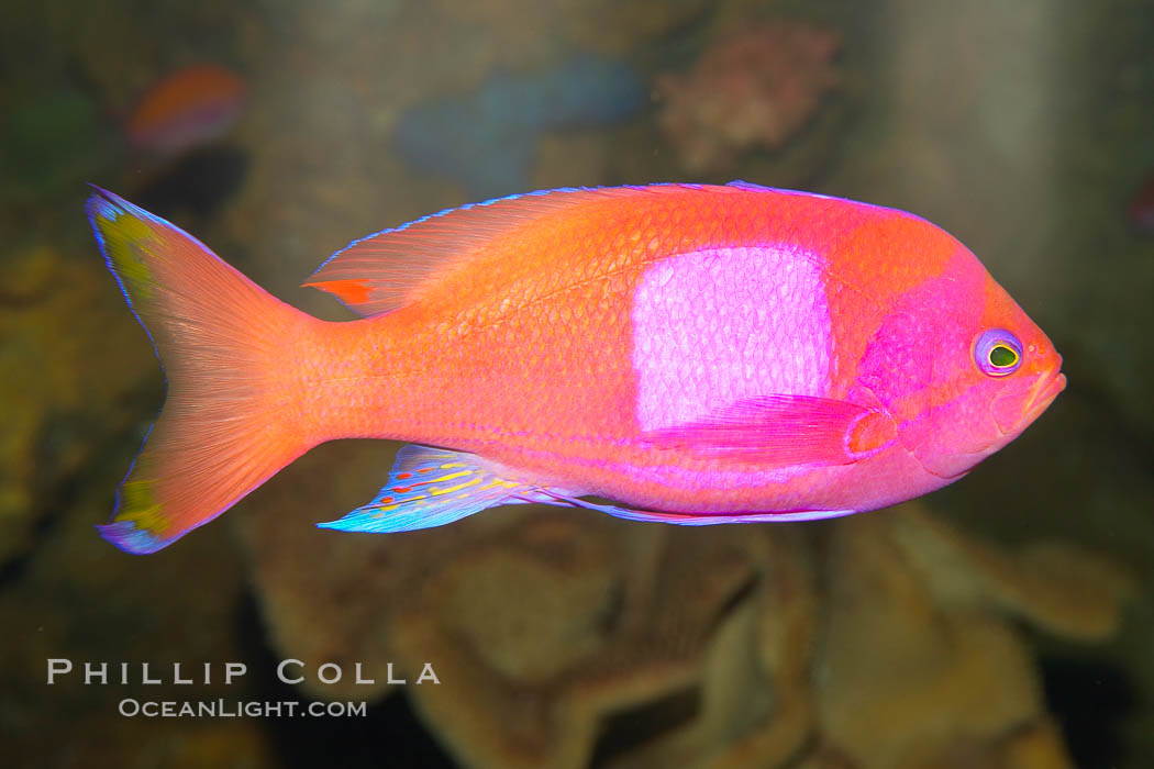 Square-spot fairy basslet, male coloration., Pseudanthias pleurotaenia, natural history stock photograph, photo id 12864