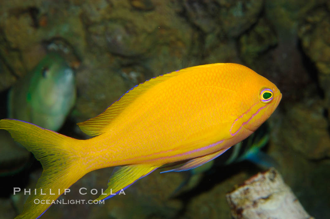 Square-spot fairy basslet, female coloration., Pseudanthias pleurotaenia, natural history stock photograph, photo id 08883