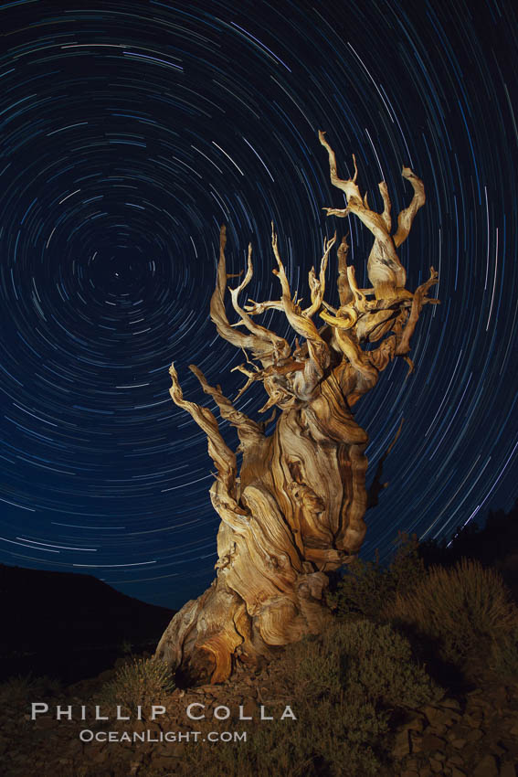 Stars trails above ancient bristlecone pine trees, in the White Mountains at an elevation of 10,000' above sea level.  These are some of the oldest trees in the world, reaching 4000 years in age. Ancient Bristlecone Pine Forest, White Mountains, Inyo National Forest, California, USA, Pinus longaeva, natural history stock photograph, photo id 27794
