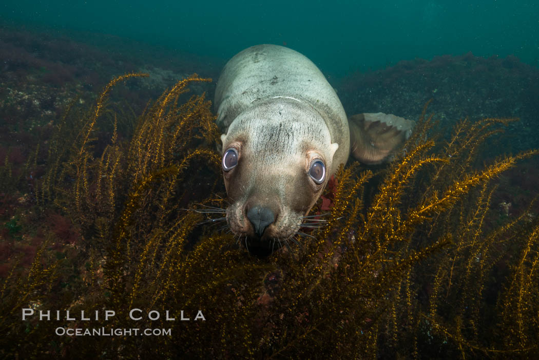 Steller sea lion underwater, Norris Rocks, Hornby Island, British Columbia, Canada., Eumetopias jubatus, natural history stock photograph, photo id 32674